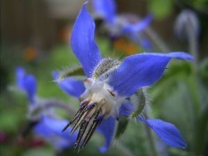 800px-Borage-flower-hr